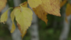 Close up yellow tree leaves blow in wind 02 Stock Footage