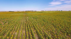 Aerial view of blooming sunflower fields. Stock Footage