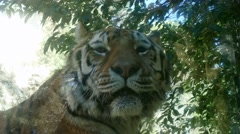 Tiger Wildlife Wild Animal In Zoo Zoological Gardens Stock Footage
