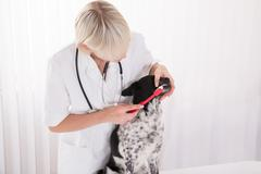 Young Female Vet Cleaning Dog's Teeth With Toothbrush In Clinic Stock Photos