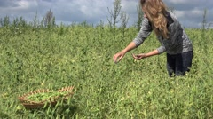 Wicker dish full of pea plant pods and pretty blond woman harvest. 4K Stock Footage