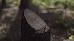 Pan upwards from tree stump to baby pine tree in forest. Stock Footage