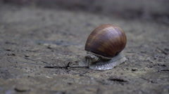Snail Crawling in a Brown Snail Shell Stock Footage