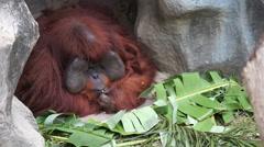 Old urangutan monkey sitting and eating fruits Stock Footage