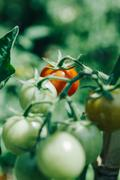 Homegrown cherry tomatoes in a pot Stock Photos