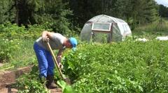Gardener guy harvest dig fresh natural potatoes in garden. 4K Stock Footage
