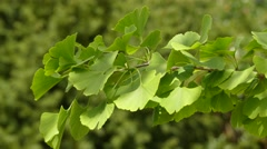 Ginkgo biloba, known as spelled gingko Stock Footage