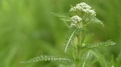 Achillea millefolium or common yarrow Stock Footage