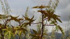 Ricinus communis, castorbean or castor-oil-plant Stock Footage