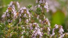 Thymus vulgaris (common thyme) Stock Footage