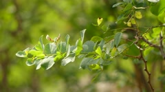 Dorucnium broussonetii (Fabaceae) Stock Footage