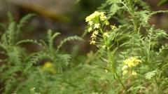 Descurainia millefolia (Brassicaceae) Stock Footage