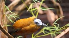 Capuchinbird Stock Footage