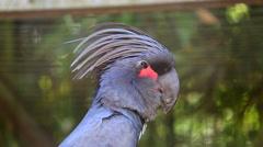 Palm Cockatoo Closeup Stock Footage