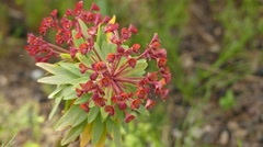 Euphorbia atropurpurea (tabaiba roja) Stock Footage