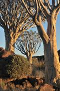 Sunrise at the Quiver Tree Forest, Namibia Stock Photos