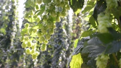 Detail of hop cones  in the breeze before the harvest Stock Footage