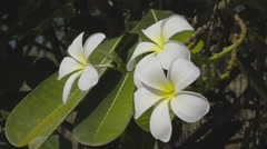 White Frangipani Flower At Full Bloom During Summer Stock Footage