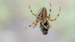 Cross Spider Araneus Diadematus And Fly Stock Footage