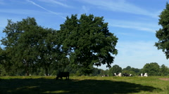Dutch cows eating on small hill at a sunny day Stock Footage
