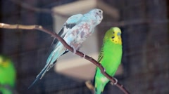 Budgerigar Couple Stock Footage
