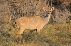Greater Kudu cow Stock Photos