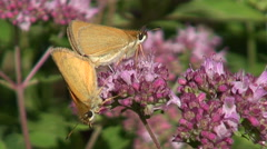 Two copulating butterflies on oregano Stock Footage