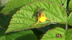 Spider with caught fly Stock Footage