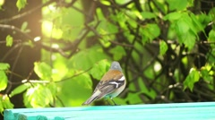 Common chaffinch (Fringilla coelebs) Stock Footage