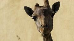 African giraffe (Giraffa camelopardalis) Stock Footage