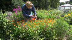 Herbalist collecting calendula marigold Stock Footage