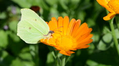 Lemon colored brimstone butterfly picking pollen Stock Footage