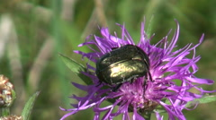 Chafer beetle picking pollen Stock Footage