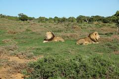 Two Kalahari lions in the Addo Elephant National Park Stock Photos