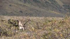 Barren Ground Caribou Bull in Velvet Stock Footage