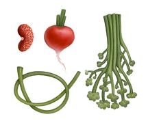 Hand drawn bean, radish, ramson and broccoli Stock Illustration