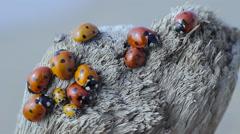 Ladybugs live on the tree macro Stock Footage