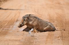 Warthog taking a mud bath Stock Photos