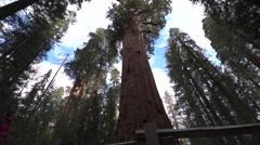 Hiker, admiring Giant Sequoia trees General Sherman Stock Footage