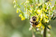 Macro of a Worker Honey Bee With Copy Space Stock Photos