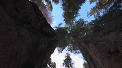 Giant Sequoia Trees Camera Tracking between Stock Footage
