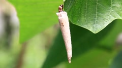 Caterpillar in a cocoon crawling on leaves Stock Footage