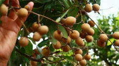 Farmers harvested longan fruits on trees Stock Footage