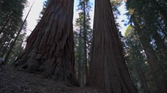 Hiker, admiring Giant Sequoia trees Stock Footage