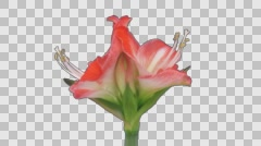 Time-lapse of opening amaryllis Minerva with ALPHA channel Stock Footage