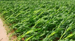 Rain and wind makes the corn growing spillage Stock Footage