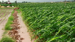 Corn plants are wind and rain make fractures Stock Footage
