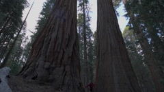 Hiker, admiring Giant Sequoia trees slow motion Stock Footage