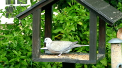 A dove pecking at grain. Stock Footage