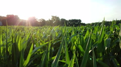 Corn field at sunset Stock Footage